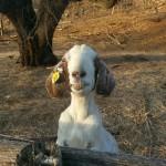 Goat smiling big