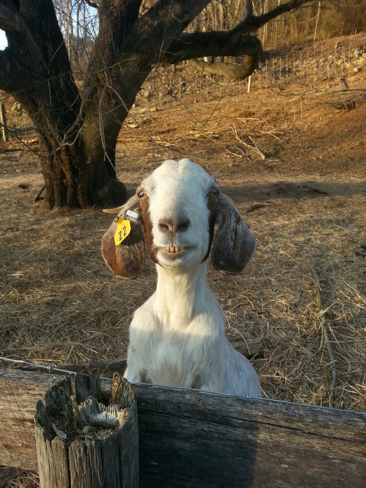 Goat smiling big