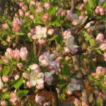 Apple tree Mid bloom