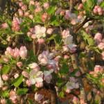 Apple tree Mid bloom