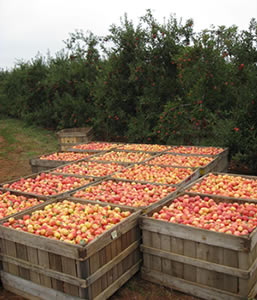 Apples ready to be stored