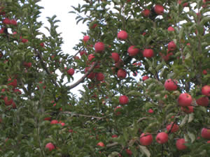 Apples ready for picking