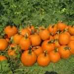 Pumpkins ready