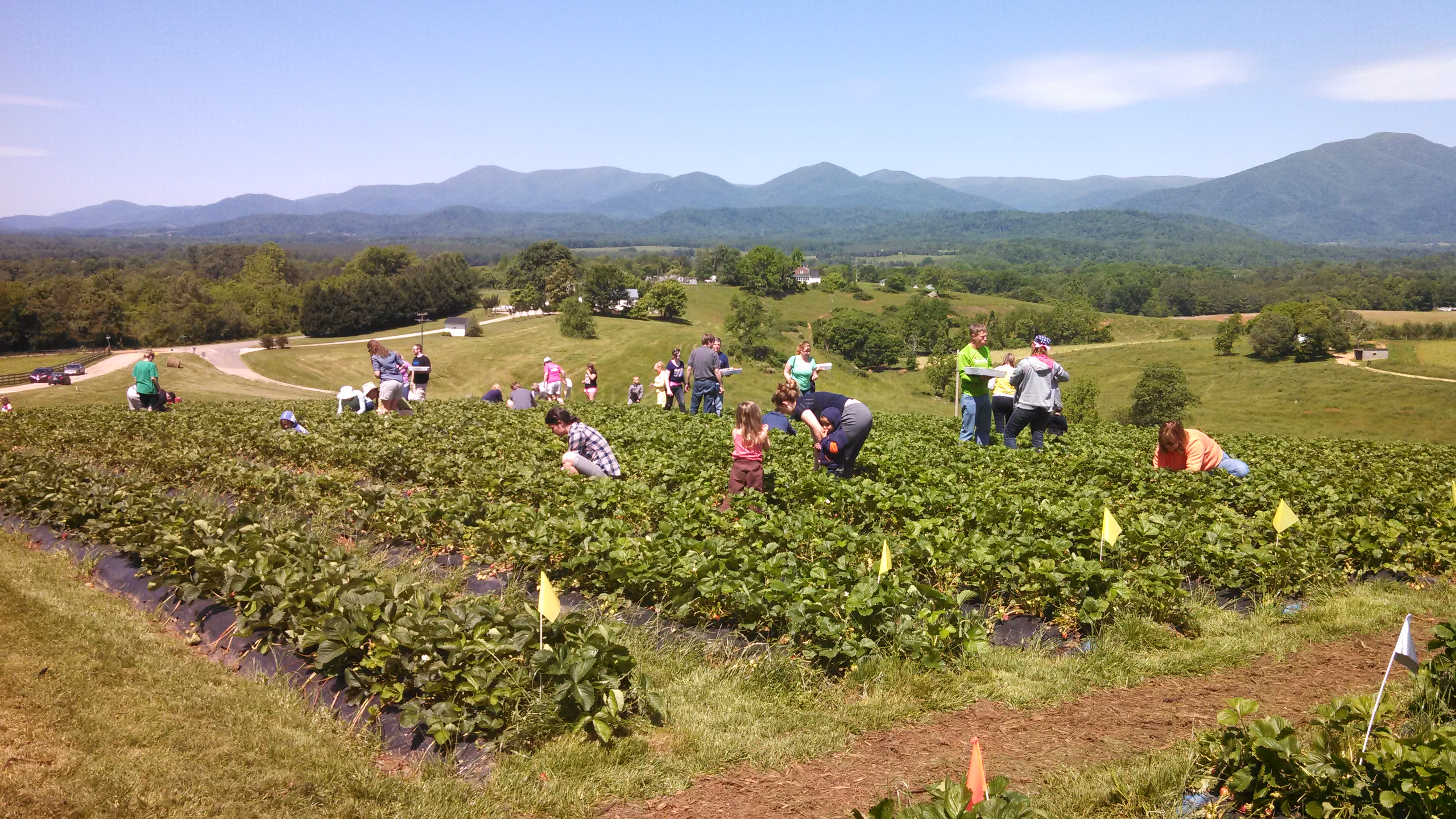 A beautiful day for picking Strawberries