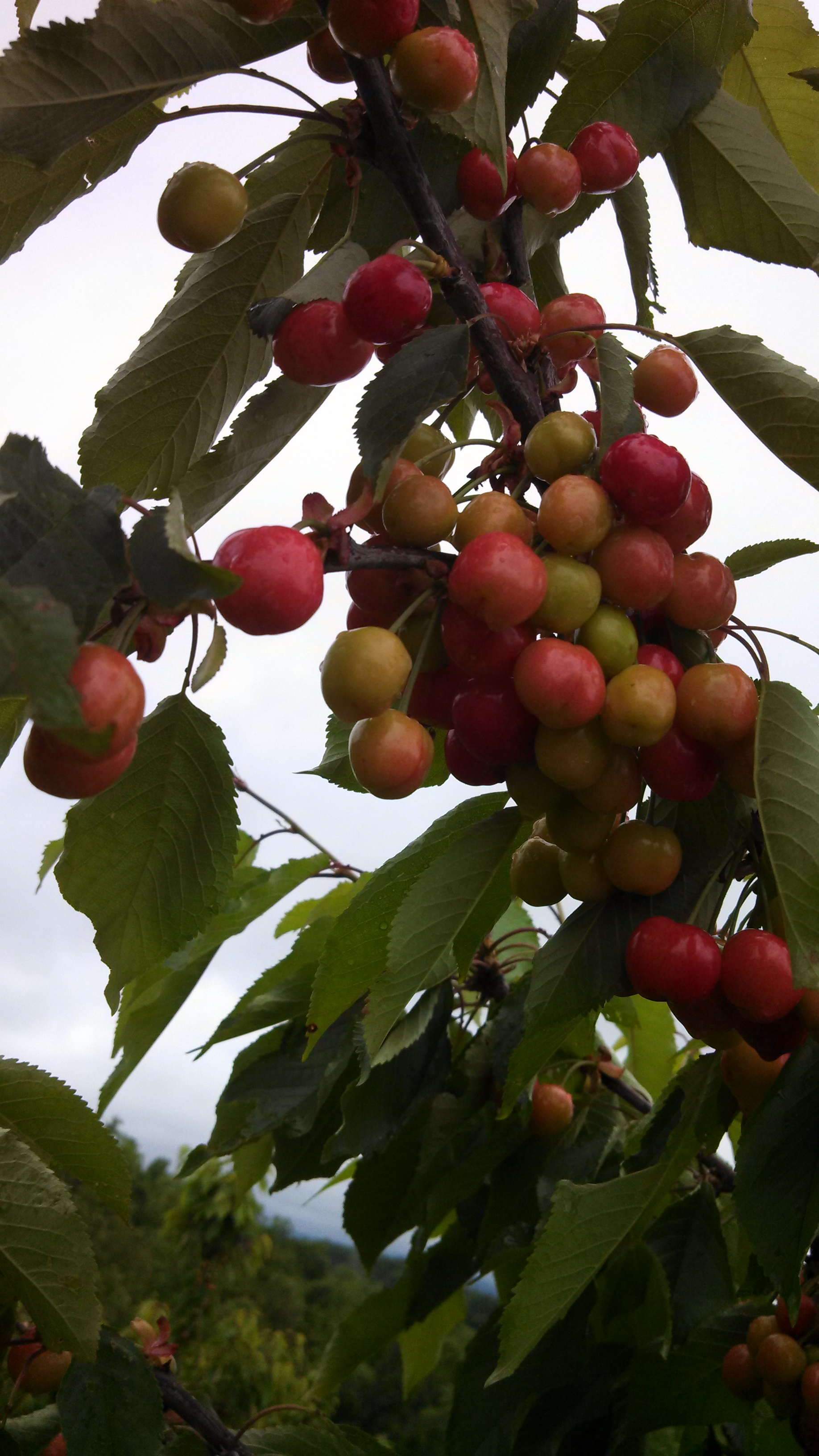 Cherries ready to be picked